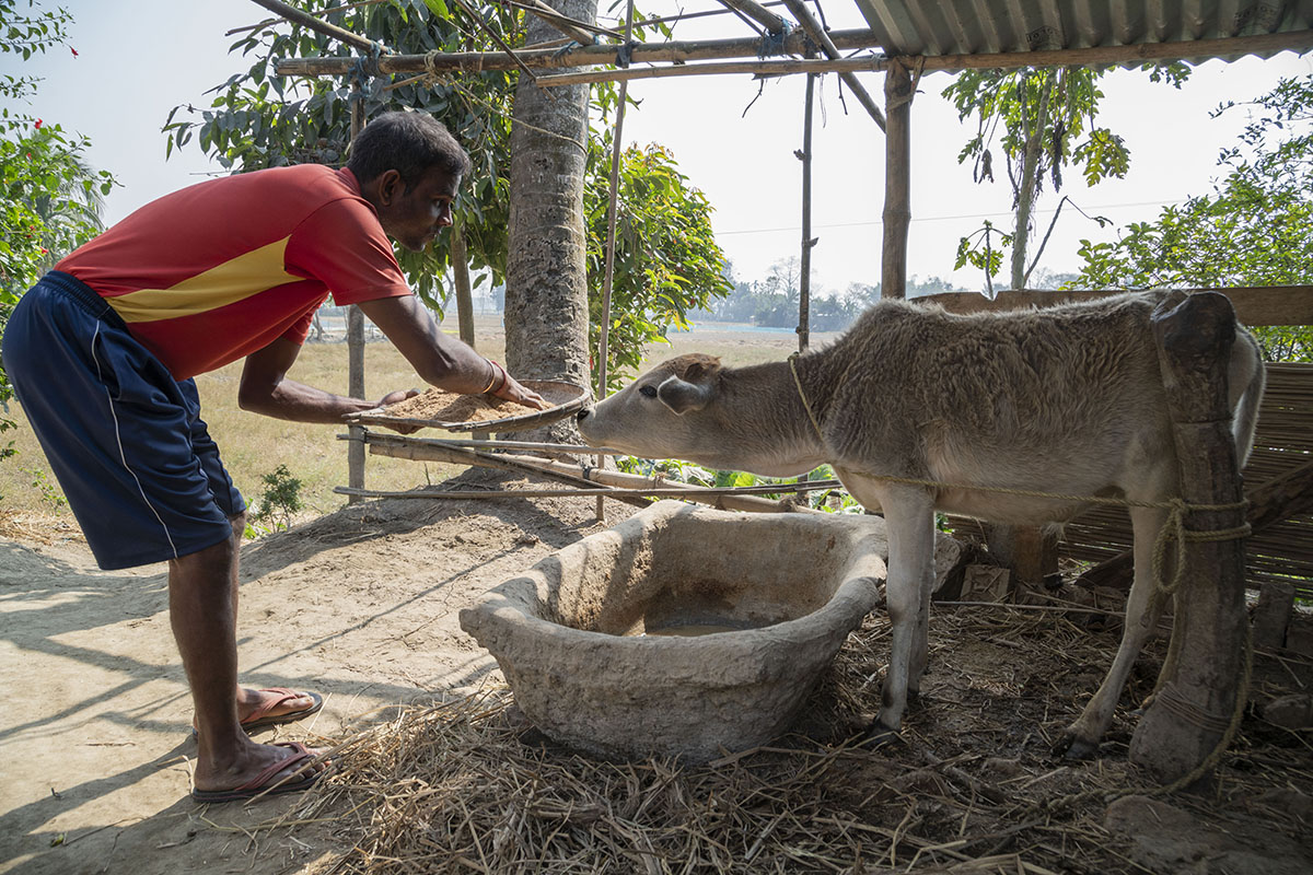 Gobinda in shorts and red T-shirt leaning towards a tethered cow, holding a winnow heaped with fodder