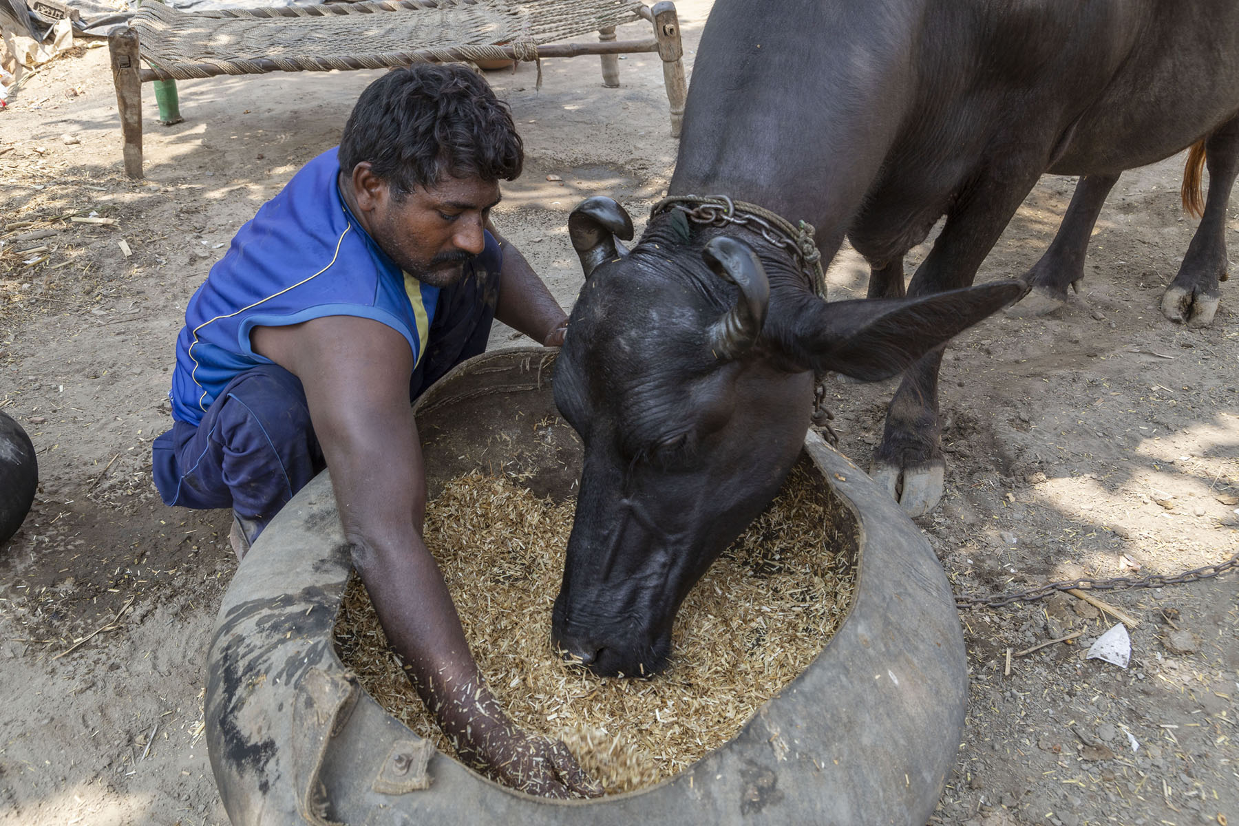Ramotar in a navy blue sleeveless T-shirt and matching pants is squatting on the ground. His right hand is buried in a large vessel of cattle fodder. A buffalo is dipping its head into the vessel and eating the fodder.